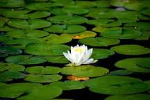 water_lilly