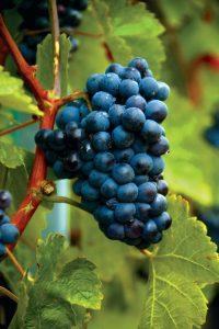 wine gamza