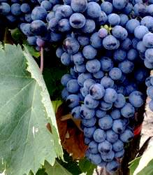 wine mavrud