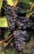 wine pamid